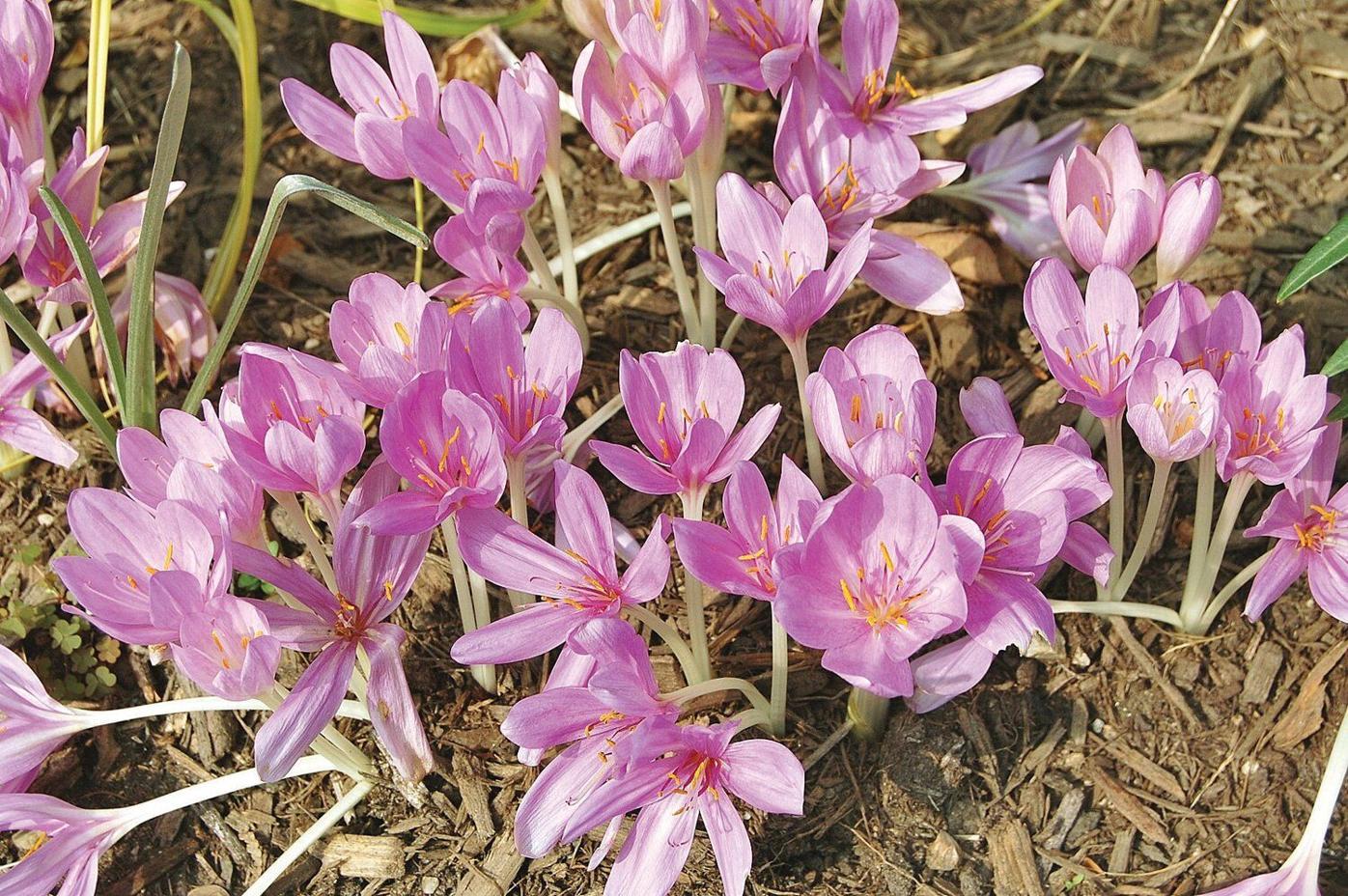Ron Kujawski | Garden Journal: Plenty of fall flower action left