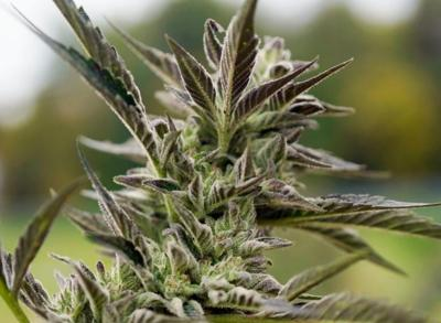 Proposed Cheshire hemp, cannabis farm put on hold by town planners