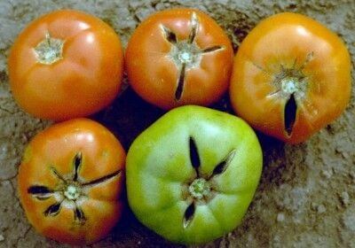 Tomato radial cracks