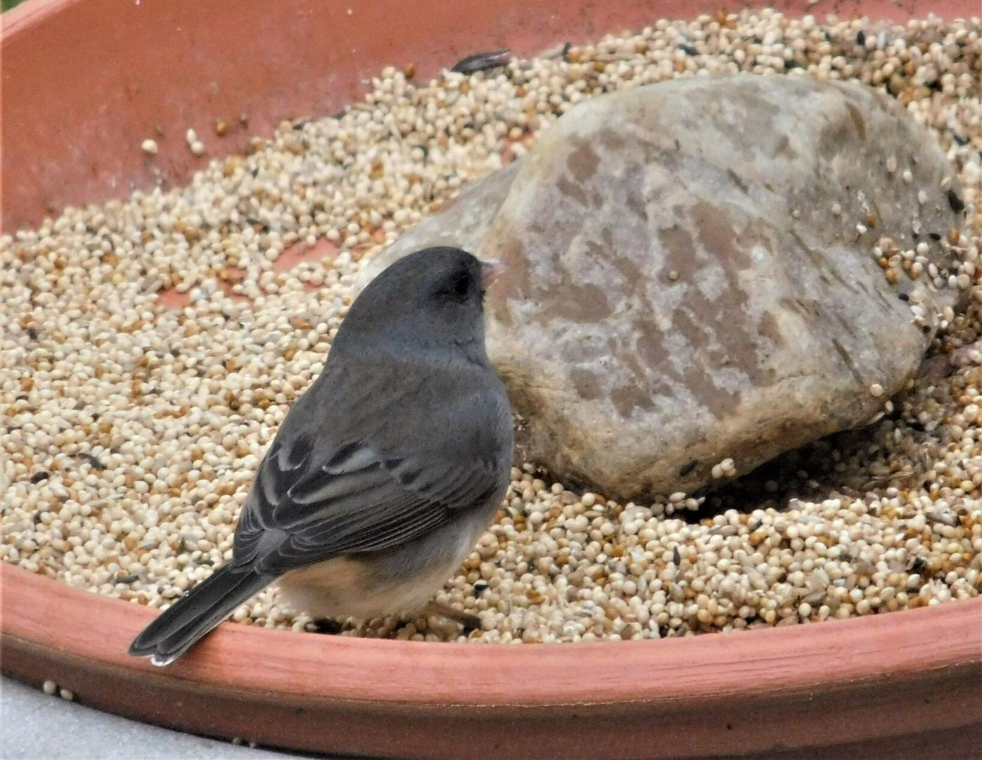 JUNCO ON PLANT SAUCER