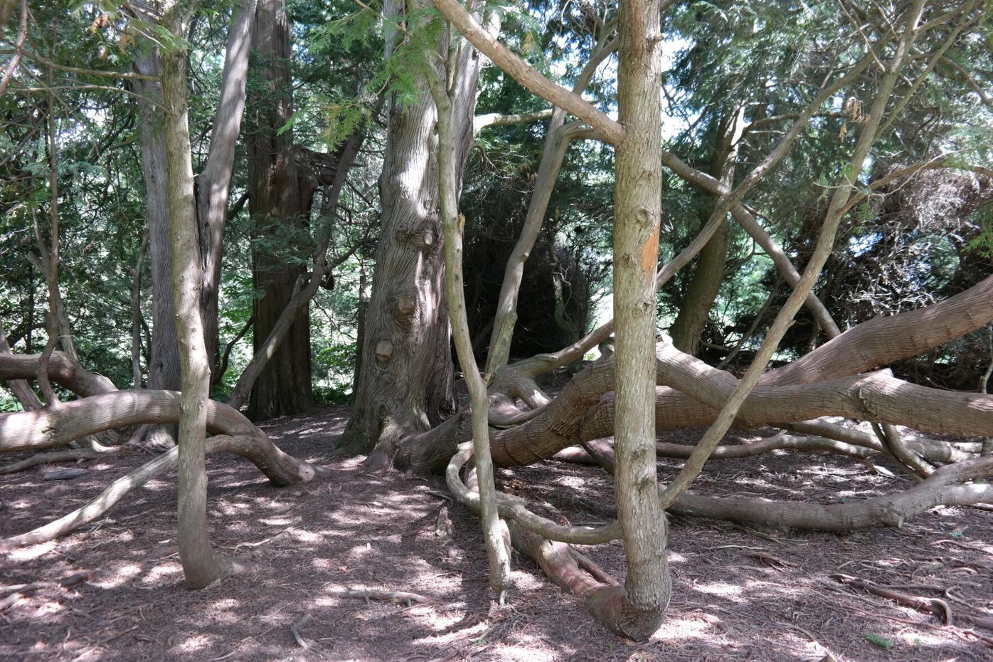 Tanglewood trees