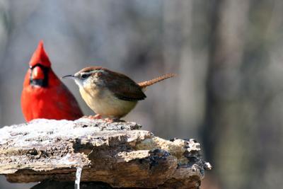 Cardinal and wren