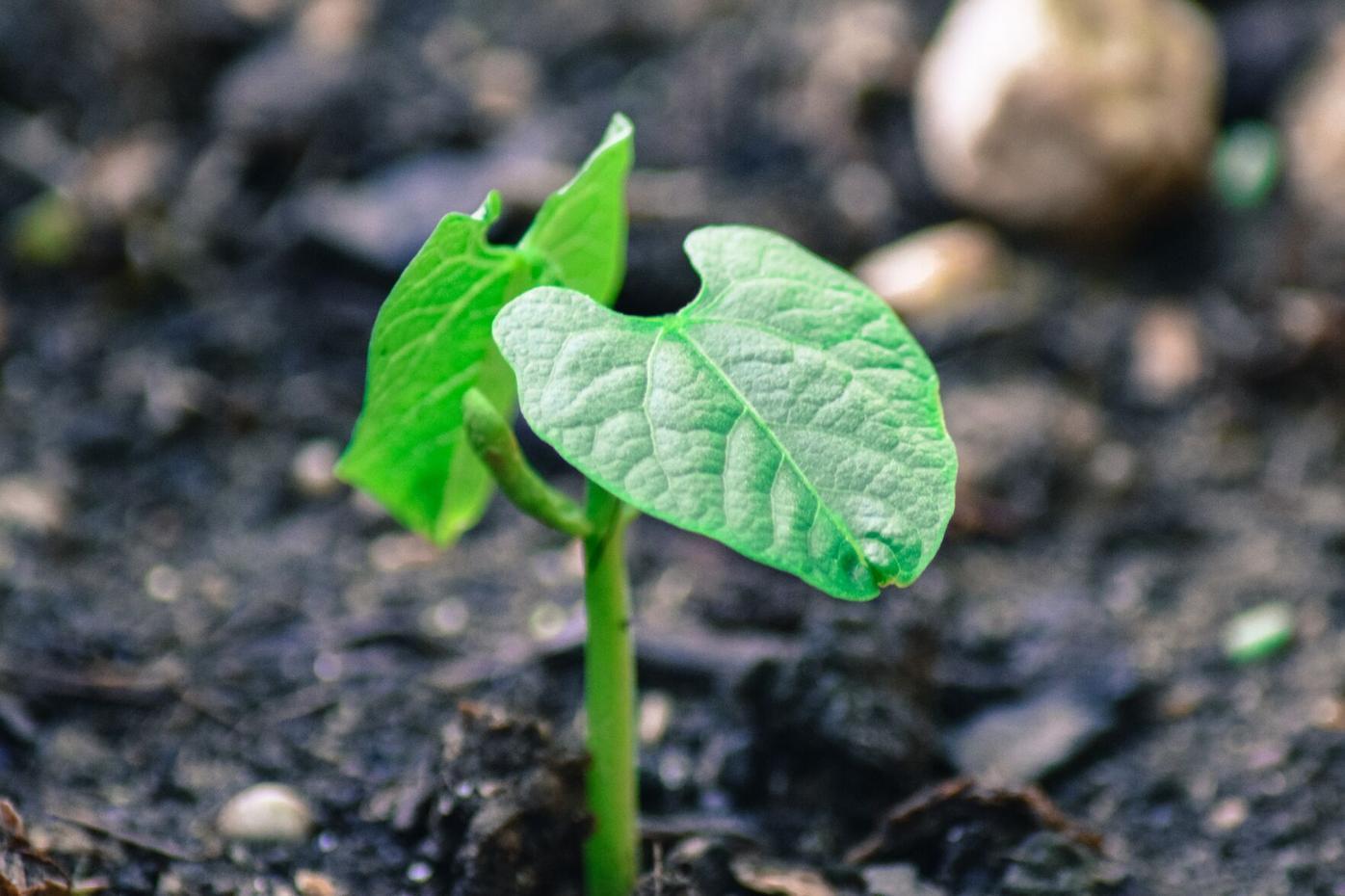 bean seedling.jpg