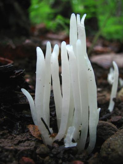 fairy finger fungus