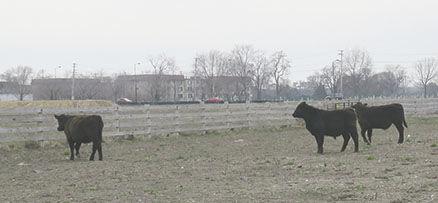 ag school cattle
