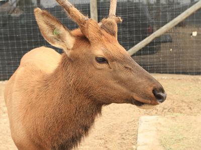 Elk raised in captivity from Sweet Idaho