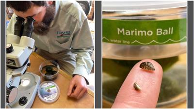 ID Invasive Mussels in Aquarium Products