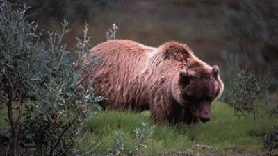 Grizzly Bear IFG