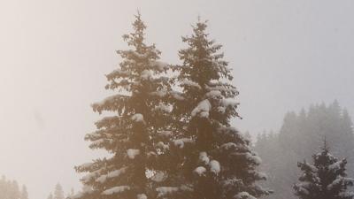 Evergreen Tree Winter