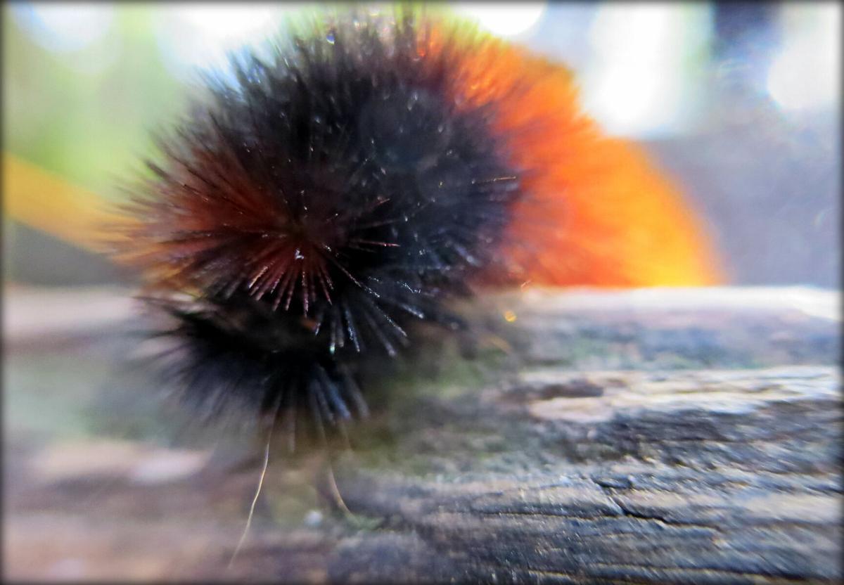 wooly worm 1.jpg