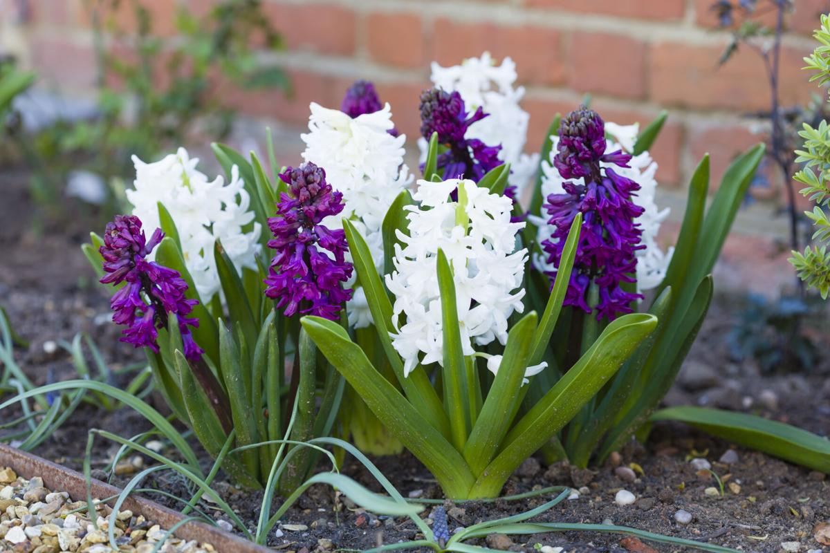 Spring hyacinths purple and white