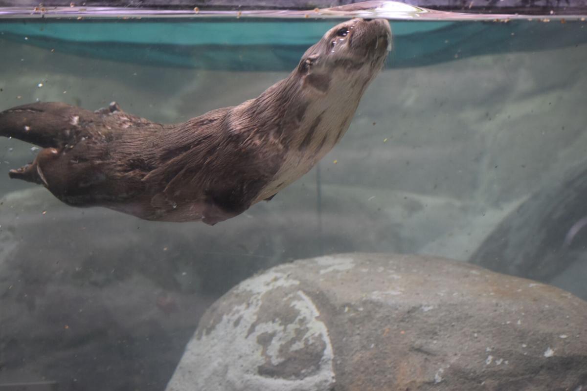 WNC river otter
