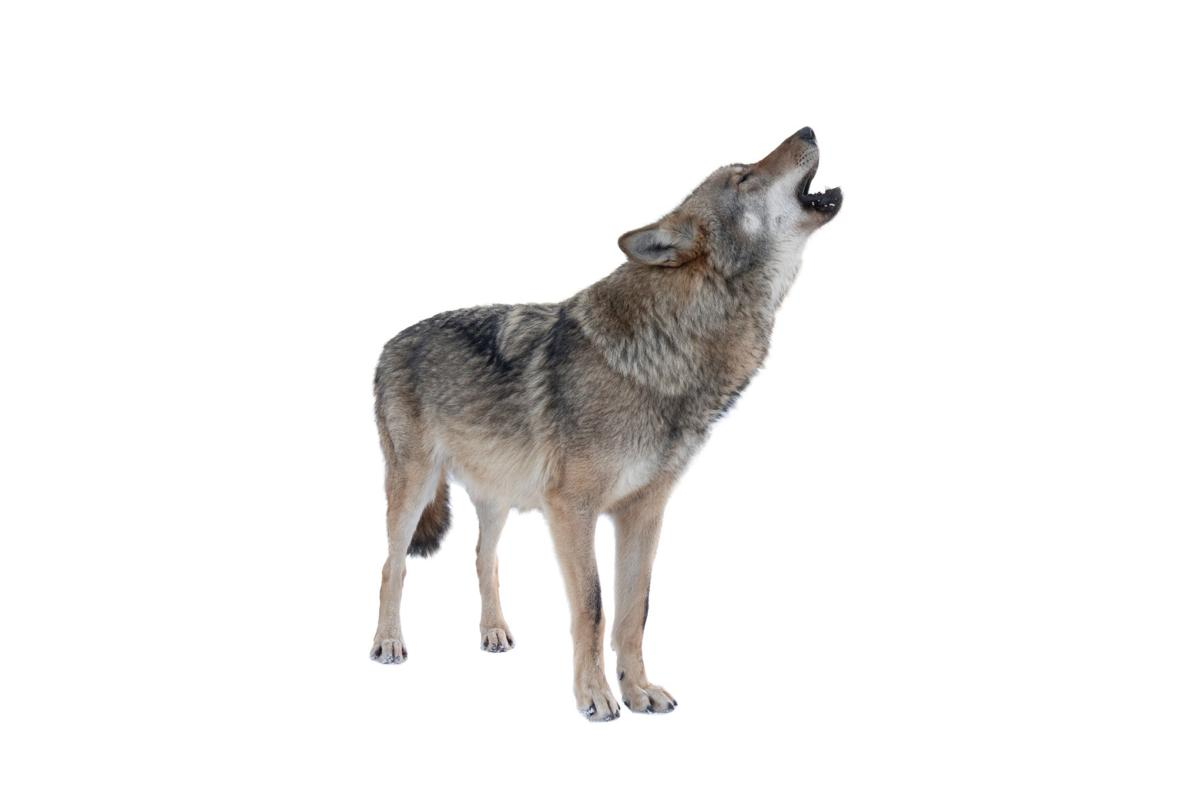 howling gray wolf isolated on white