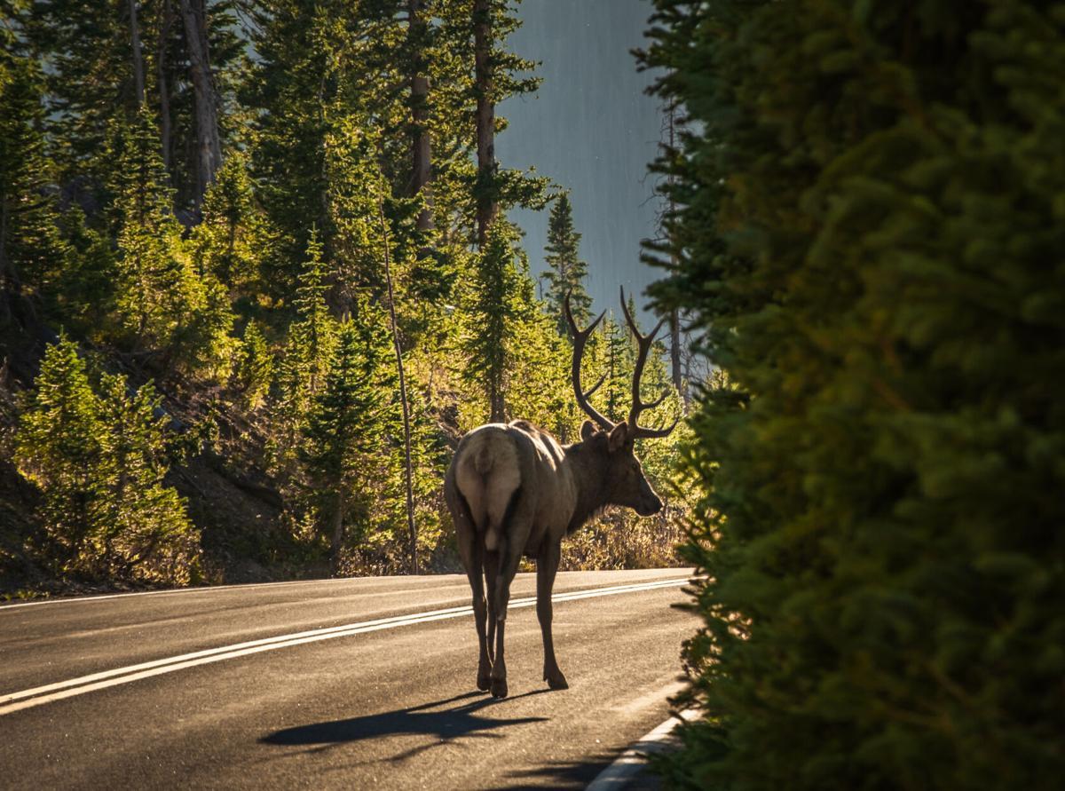 Bull elk crossing the road
