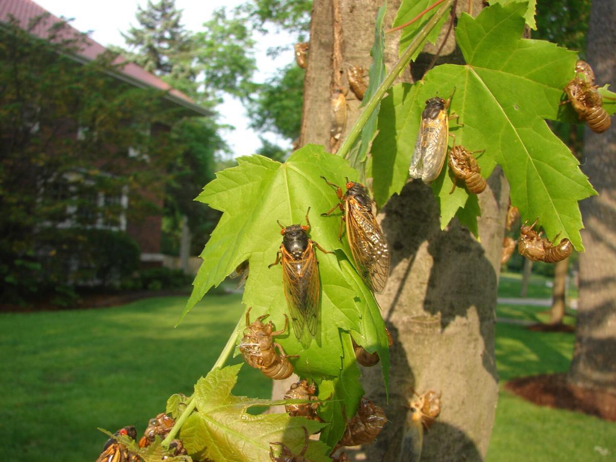 Cicada's the 17 year locusts