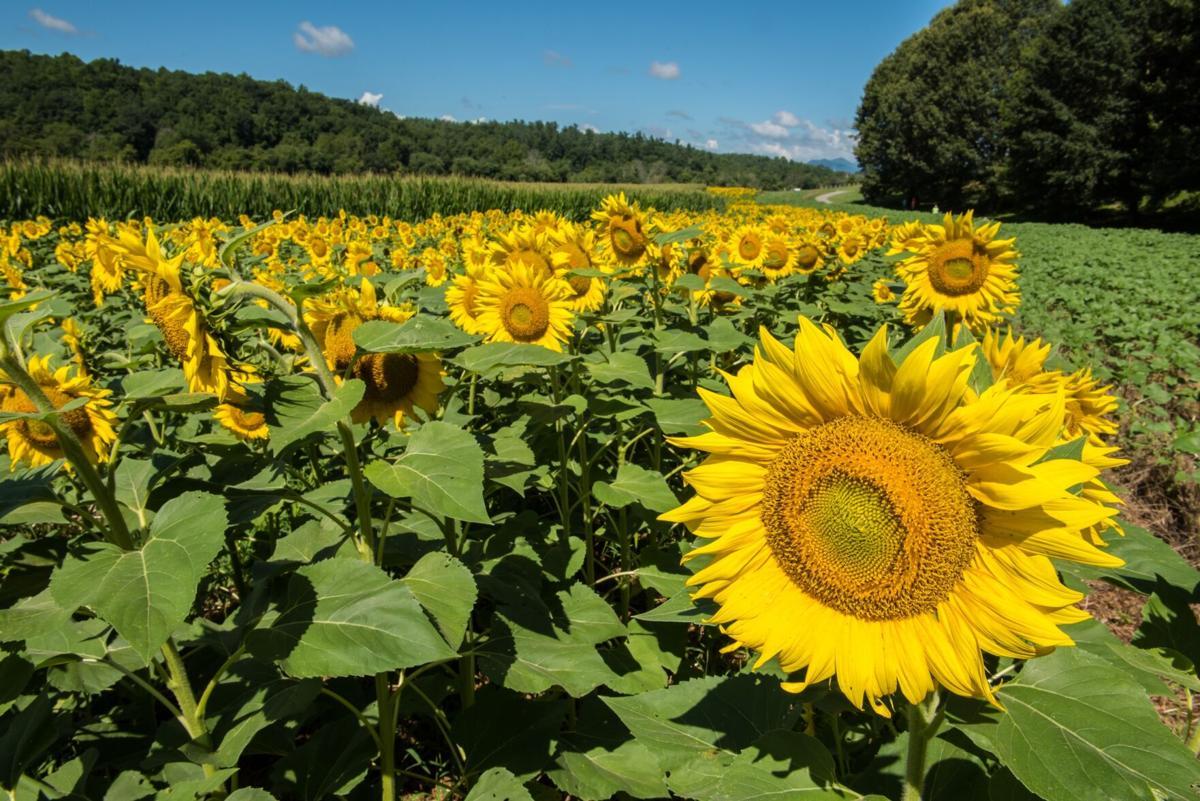 Sunflowers4.jpg