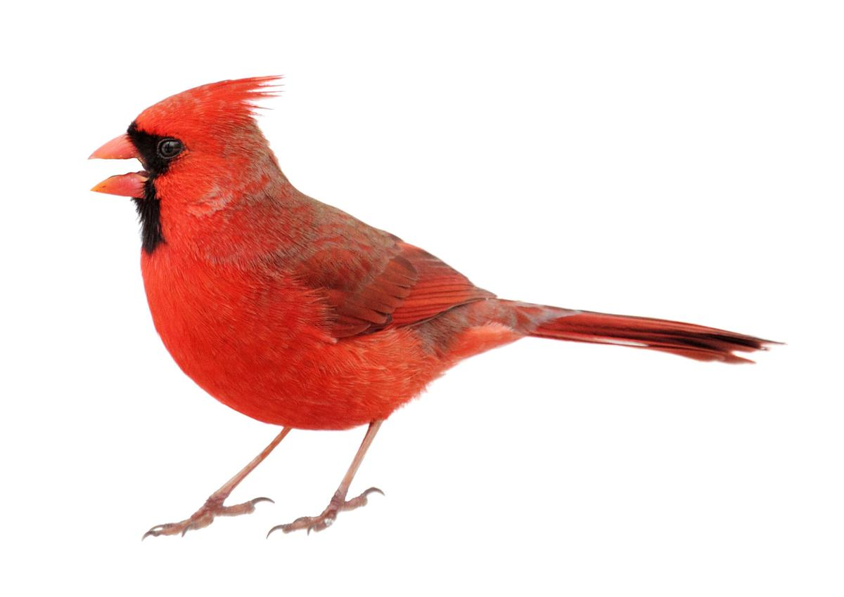 Closeup up of Northern Cardinal on white background