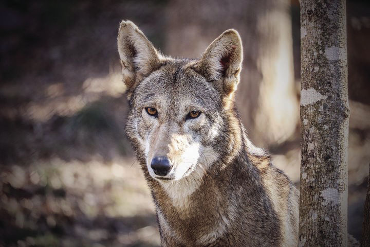 Red Wolf2 — WNC Nature Center.jpg