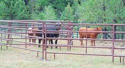 Errant cows busted