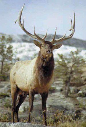 Elk season opens