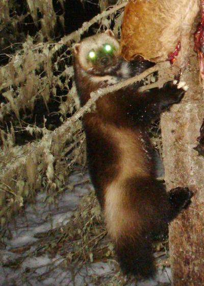 ODFW: Watch out for wolverines