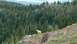 Mountain goats reclaim hills