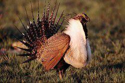JOHN DAY TRUE VALUE'S WILDLIFE SPOTLIGHT: Sage grouse