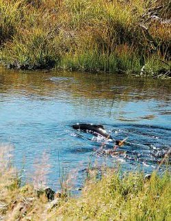 Salmon ending epic journey in local waterways