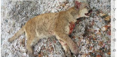 Cougar killed in Prairie City