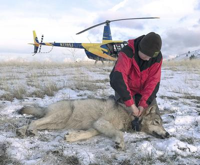 ODFW Commission wrestles with wolf management questions