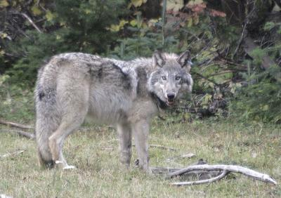 Baker County man justified in wolf shooting