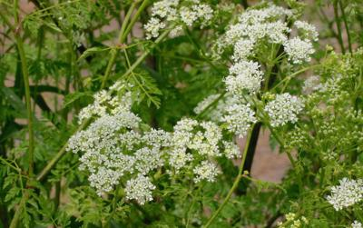 Oregon lawmakers urged to boost noxious weed spending by $1 million