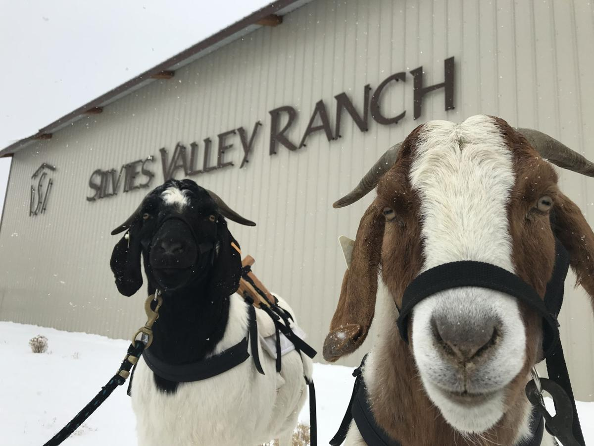 AG DAY: Goats serve as caddies at Silvies Valley Ranch Retreat & Links