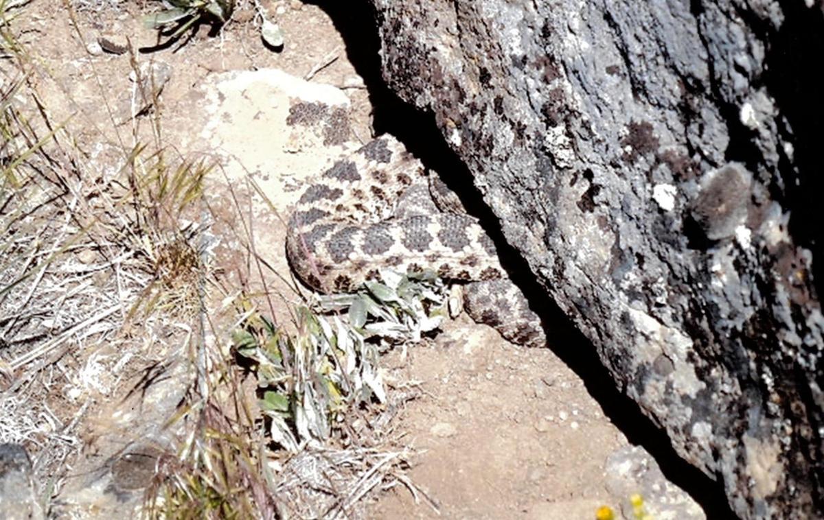 Bob Steinbruck on rattlesnakes