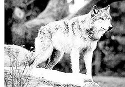Signal helps identify gray wolf traveling in Northeast Oregon