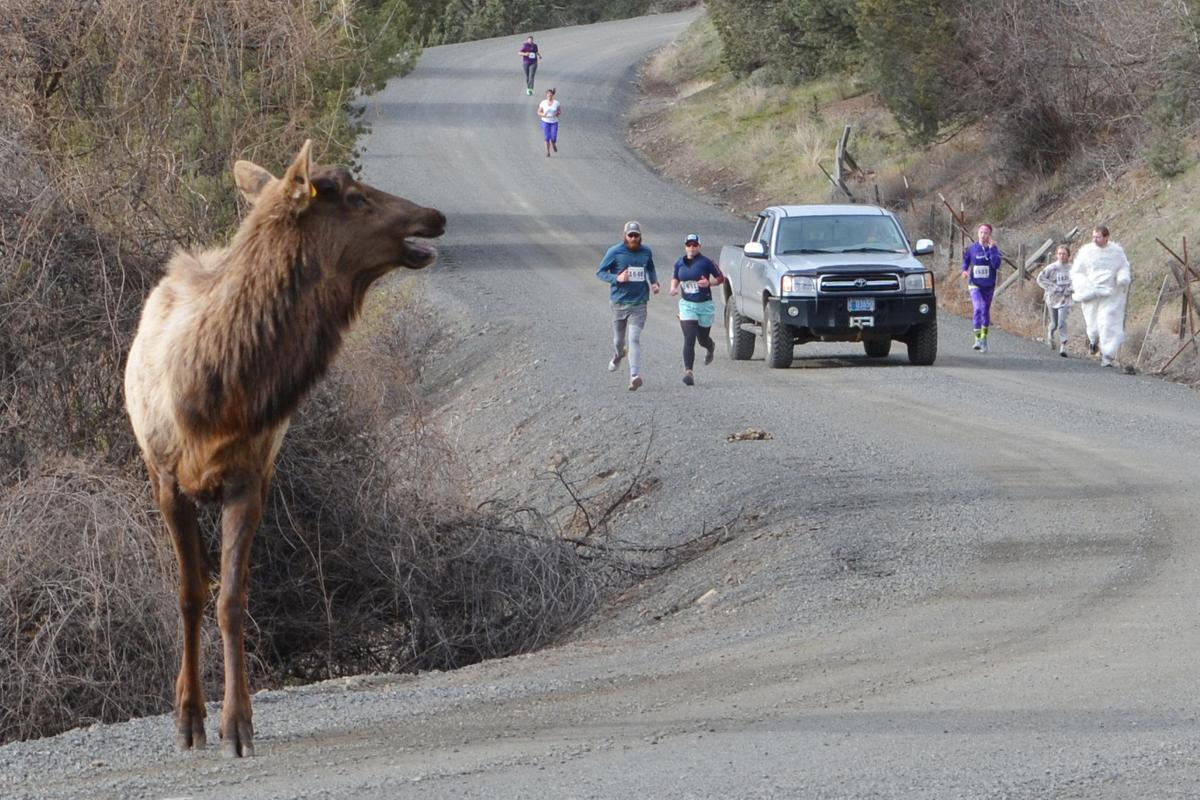 Buddy the elk joins the Bunny Hop