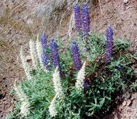 Weed watch: Lupine can cause birth defects