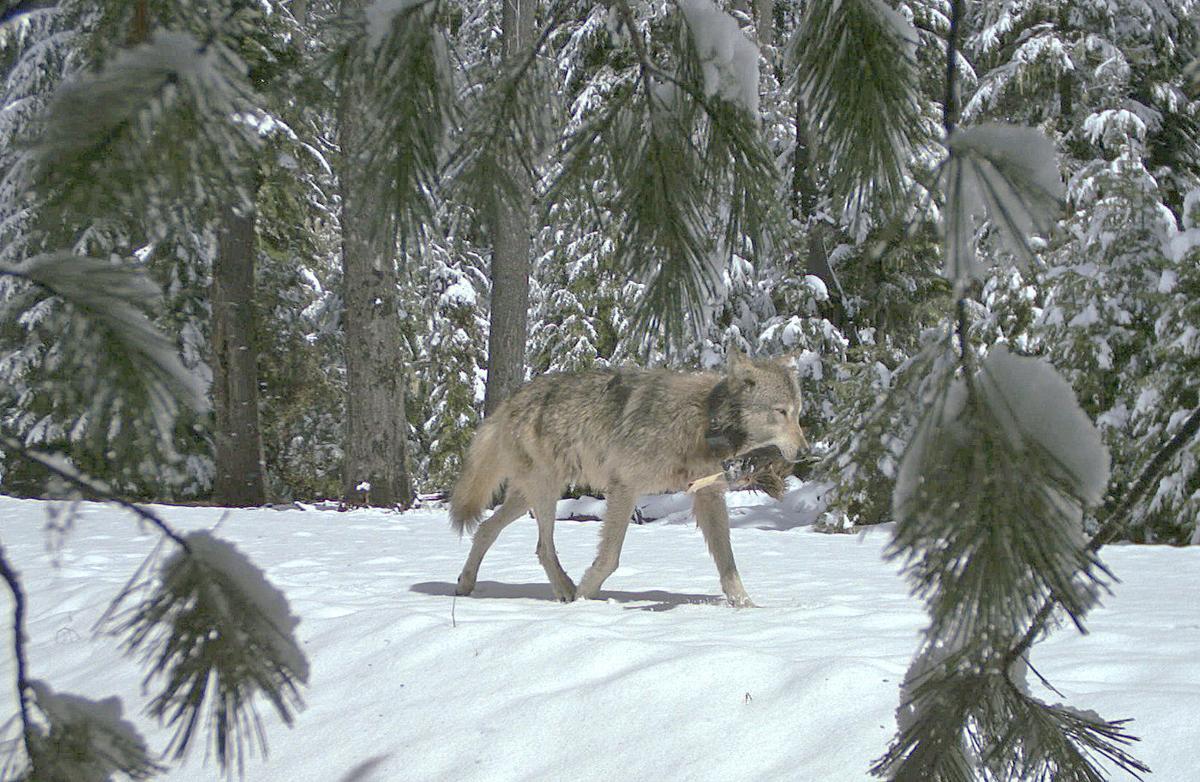 Keeney Meadows wolves