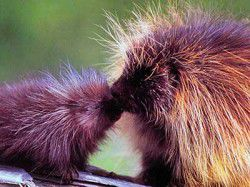 JOHN DAY TRUE VALUE'S WILDLIFE SPOTLIGHT: Porcupine