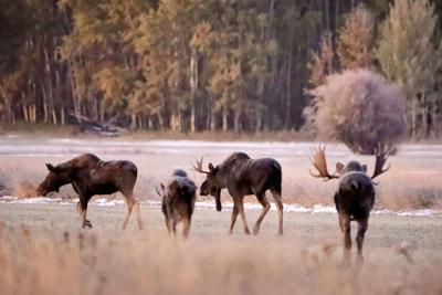 101619 Dawn moose.jpg