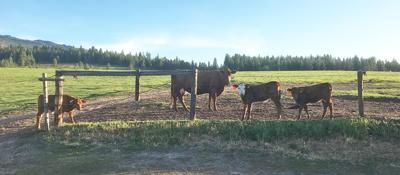 cows_0513p.jpg