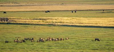 092519 Elk cows.jpg