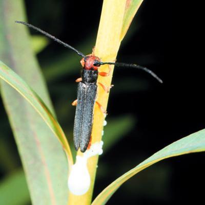 stem and root boring beetle.jpg