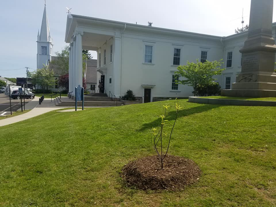 New Tree on Town Green