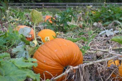 Local pumpkin farm celebrates successful harvest