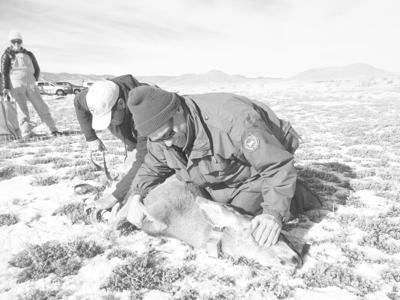 New study gives instant results on mule deer health