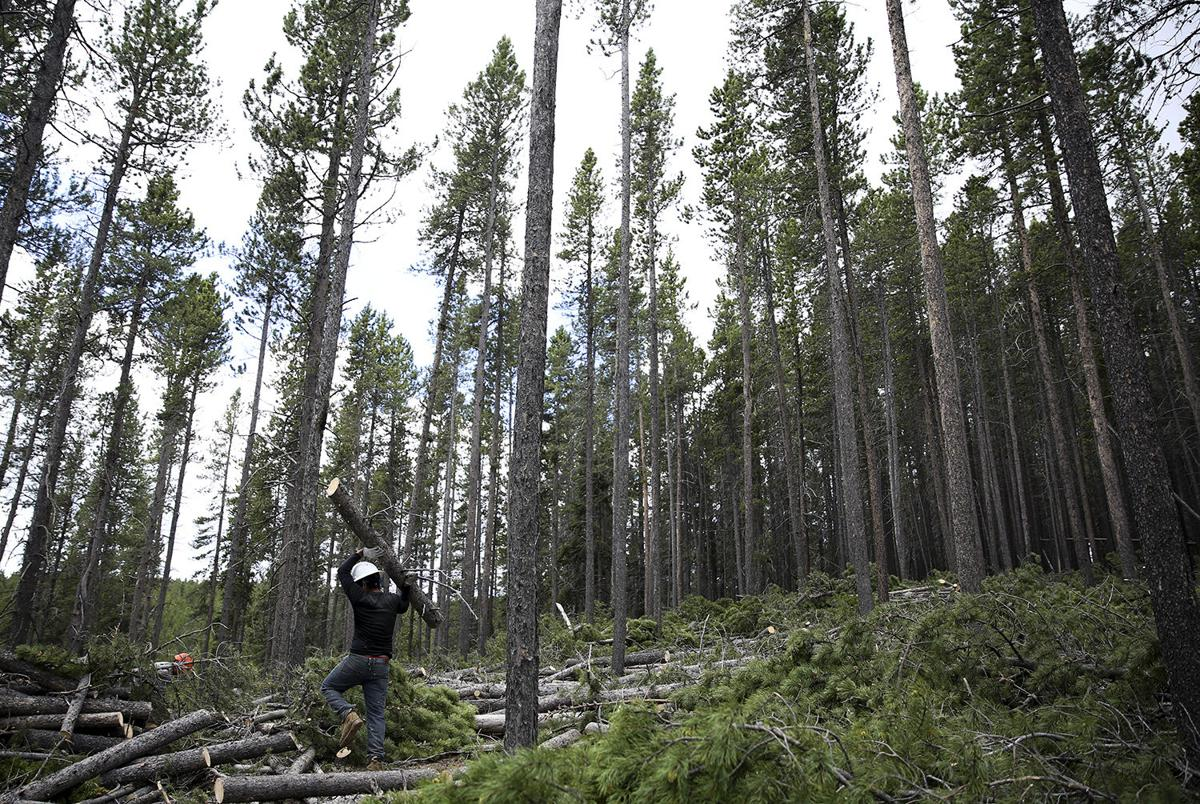 Thinning timber in the national forest is one preventative way in which the Forest Service is able to protect the ecosystem