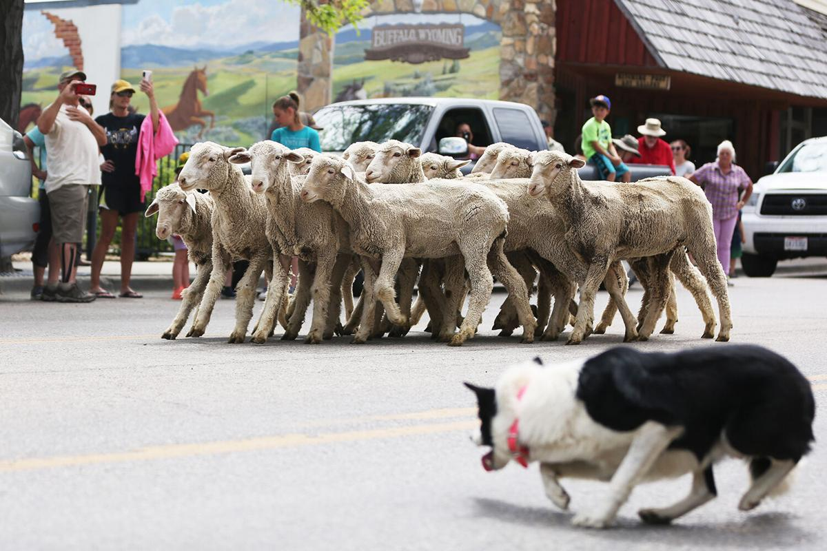 The sheep were brought down along Main Street