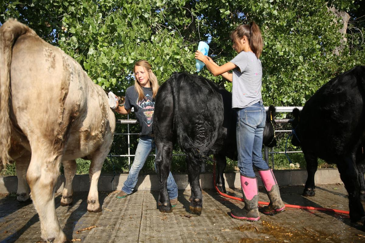 From left, Kaitlyn Painter, 15, and her sister Klarissa, 13, wash the four steers and a heifer