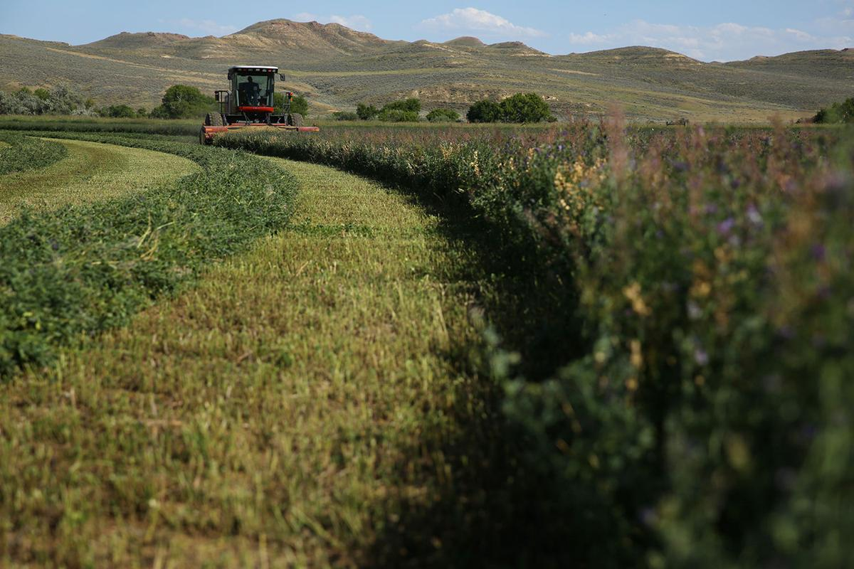 This 40 acre alfalfa field is one of several hayfields that are included in the first cut